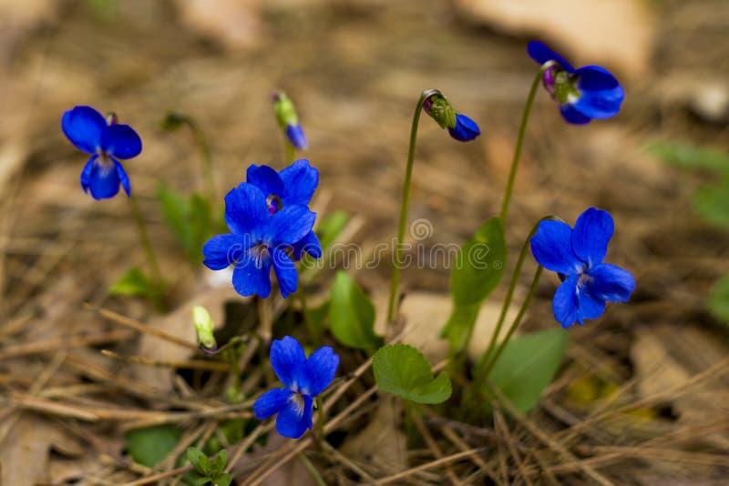 Snowdrops azuis das primeiras flores da floresta da mola foto de stock royalty free