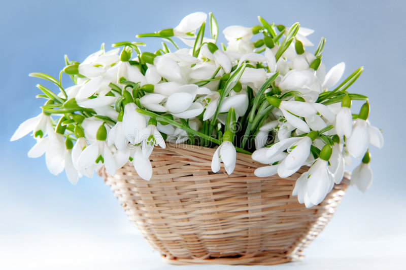 Download Snowdrops in basket stock image. Image of snowdrops, delicate - 8171777