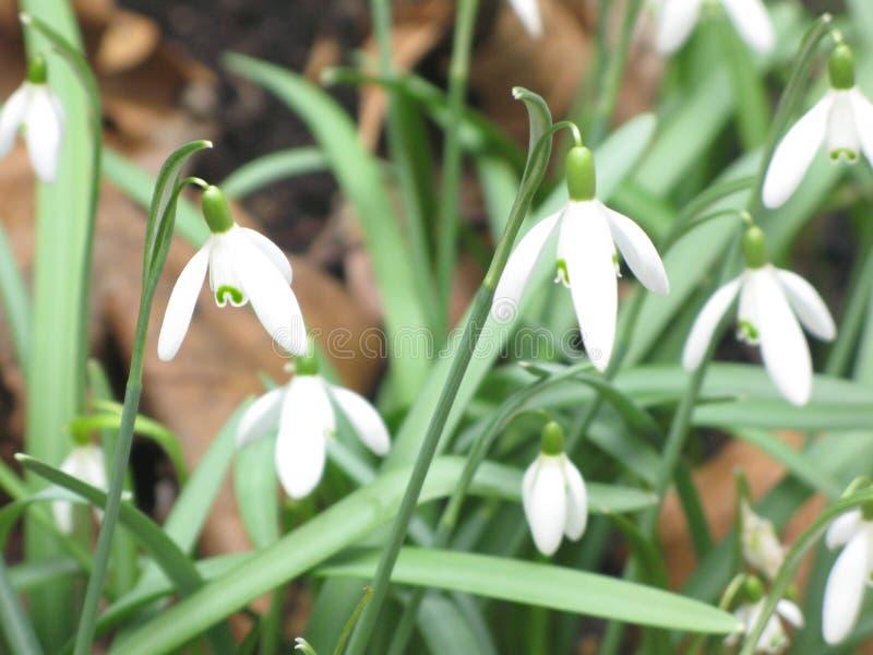 Snowdrops bianchi immagine stock