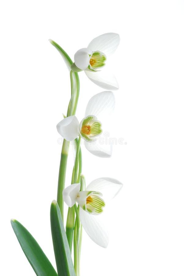 Snowdrops blancos imagen de archivo libre de regalías