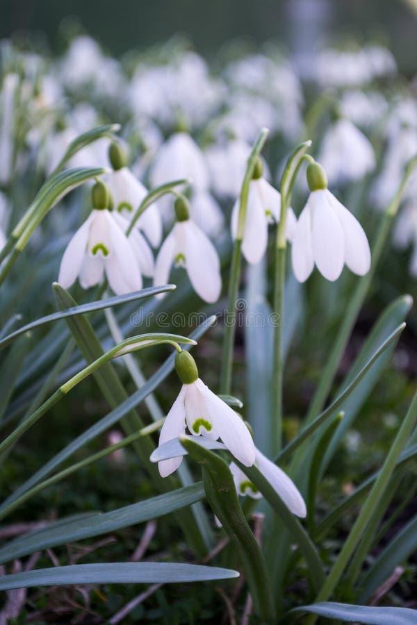 Snowdrops blancos del resorte Campo de Snowdrops Nivalis de Galanthus Flores de la primavera de Snowdrop foto de archivo libre de regalías