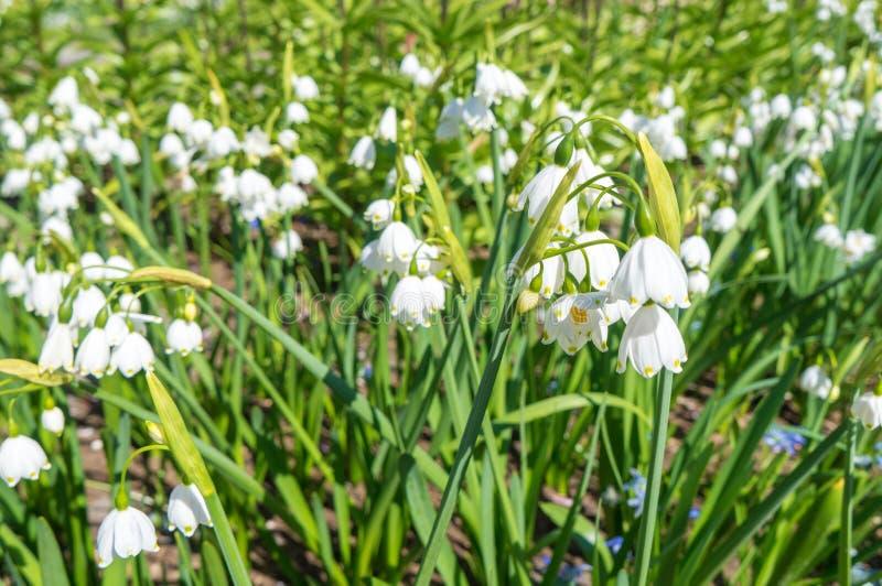 Snowdrops blancos del resorte Campo de Snowdrops Nivalis de Galanthus Flores de la primavera de Snowdrop Snowdrop o Galanthus foto de archivo libre de regalías
