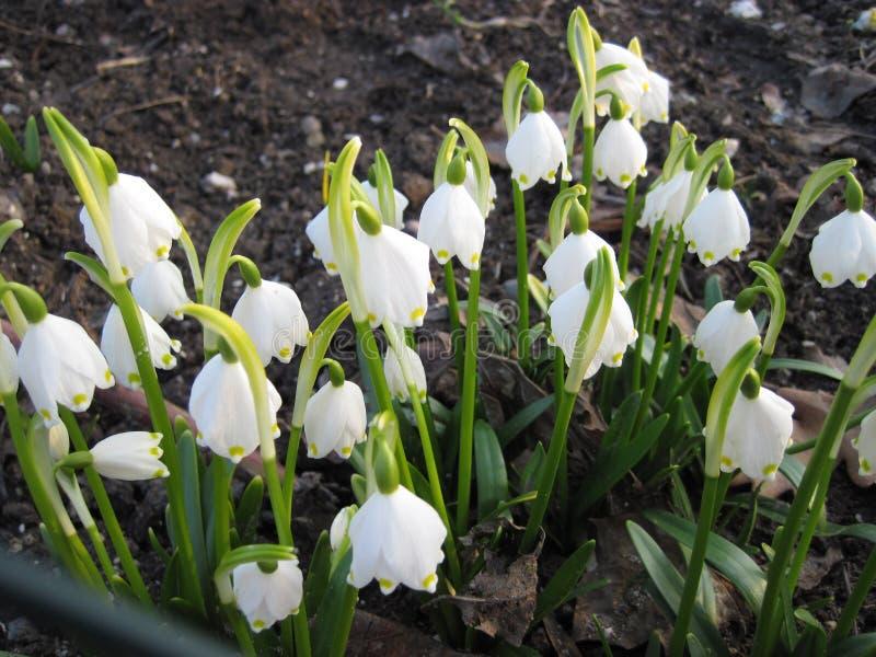 Snowdrops blancs dans une forêt images stock