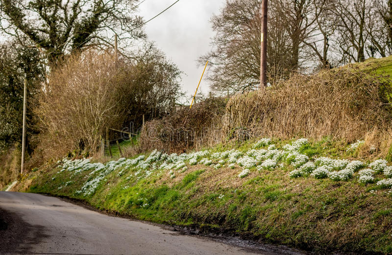 Snowdrops blooming on the Roadside. An abundance of snowdrops Galanthus, growing on a roadside grass verge in a country lane. These are just a few of the royalty free stock photo