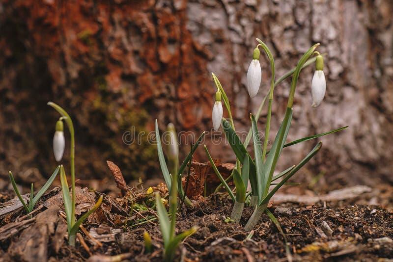 Snowdrops brancos bonitos no jardim, primeiro símbolo da flor da mola foto de stock