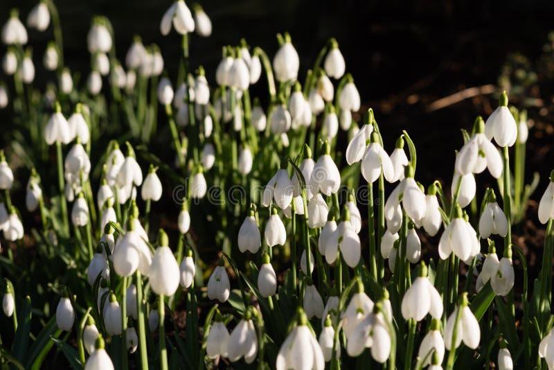 snowdrops, bulbos de la primavera y flores imágenes de archivo libres de regalías