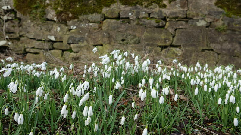 Snowdrops stock photography