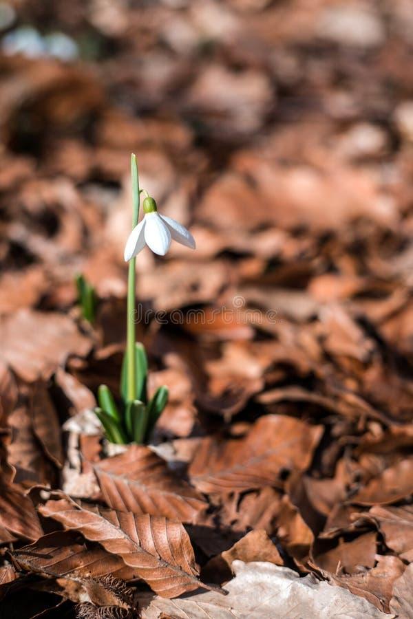Snowdrops contra las hojas viejas en bosque de la primavera fotos de archivo