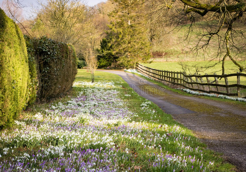 Snowdrops and Crocuses Blooming in a Grassy Border. An abundance of snowdrops Galanthus and Crocuses growing in the grass verge of a country lane royalty free stock images