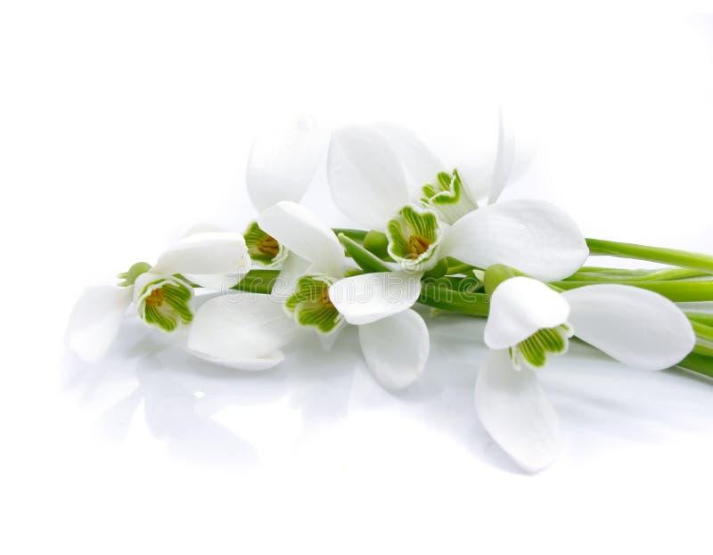 Snowdrops de bouquet d'isolement photo stock