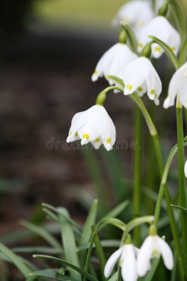 Snowdrops della sorgente fotografie stock