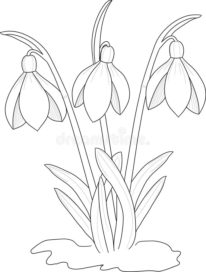 Snowdrops drawing. Floral art design background vector illustration