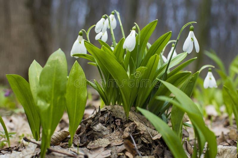 Snowdrops e folhas do verde fotografia de stock