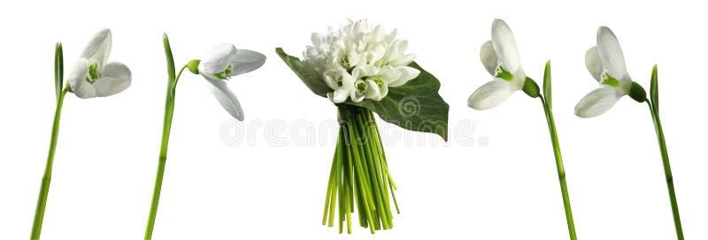 snowdrops Eerste de lentebloemen op witte achtergrond worden geïsoleerd die stock foto's