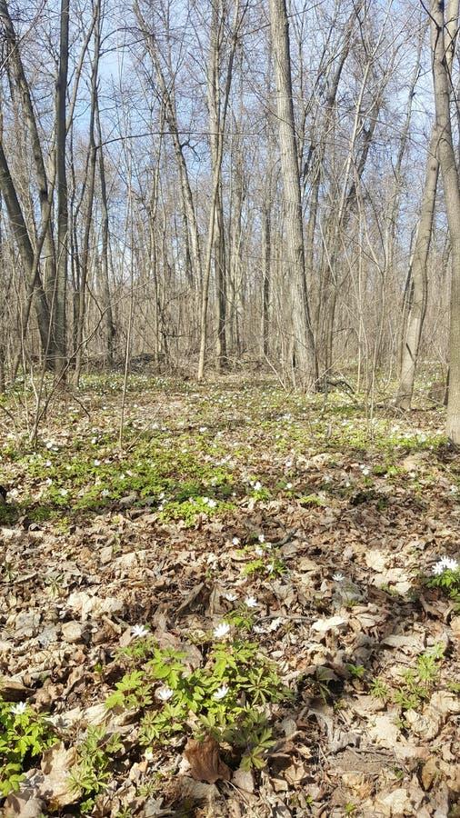 Snowdrops en el bosque en la primavera temprana Flores salvajes en el prado Flores de la primavera de Snowdrop imagen de archivo