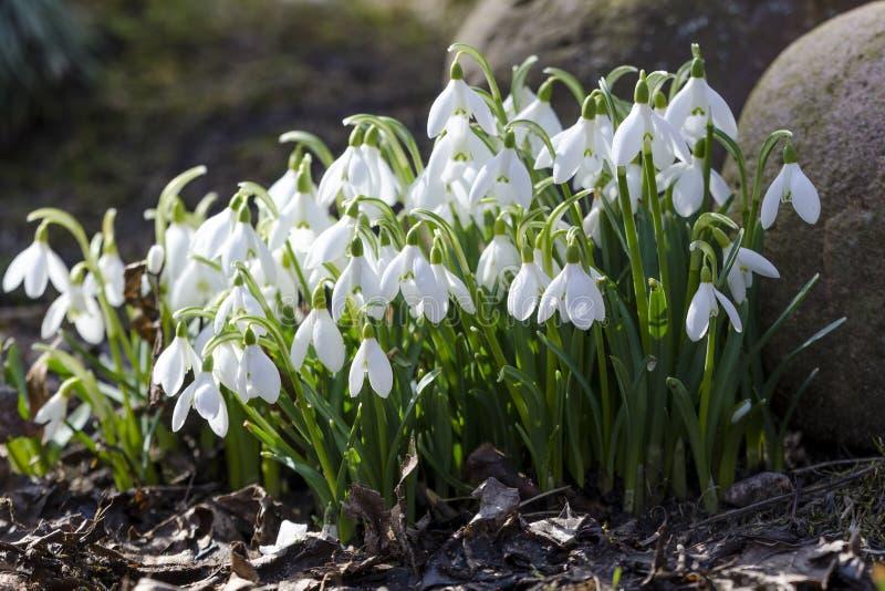 Snowdrops en el jardín en la primavera imagen de archivo