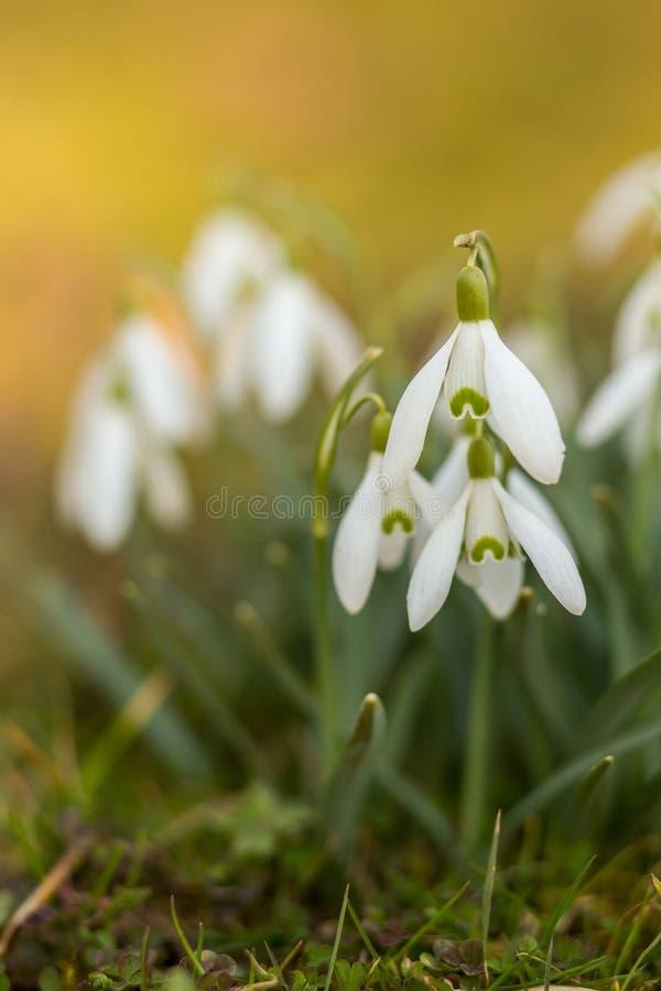 Snowdrops en primavera foto de archivo libre de regalías