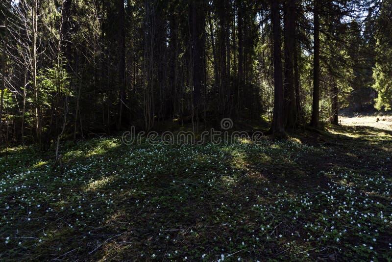 Snowdrops en un claro sombrío del bosque en un día soleado foto de archivo libre de regalías