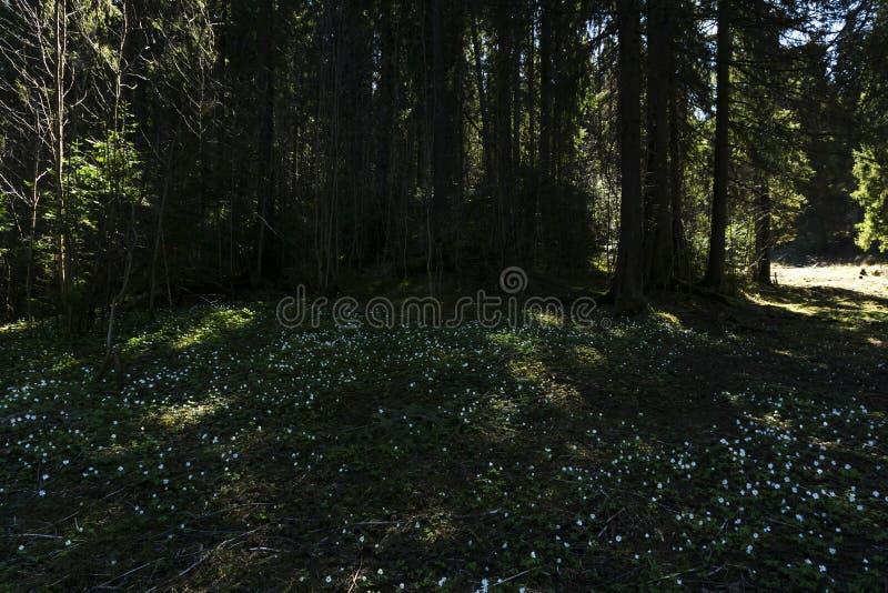 Snowdrops en un claro sombrío del bosque en un día soleado imagenes de archivo