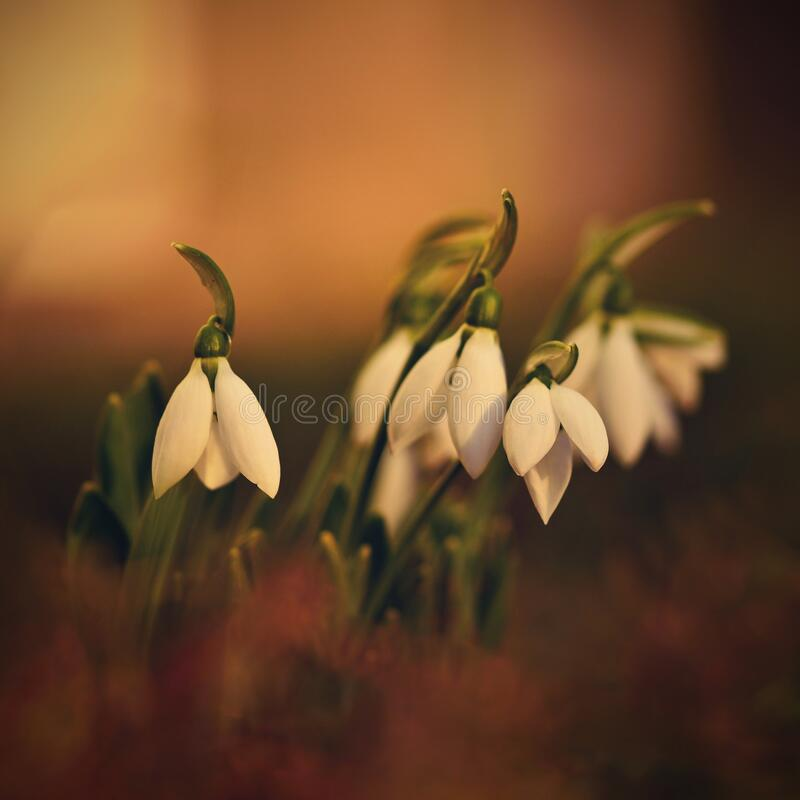 Snowdrops. First beautiful small white spring flowers in winter time. Colorful nature background at the sunset.  Galanthus royalty free stock photos