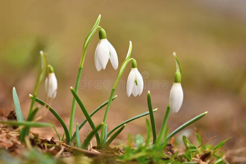 Snowdrops. First beautiful small white spring flowers in winter time. Colorful nature background at the sunset.  Galanthus stock photo