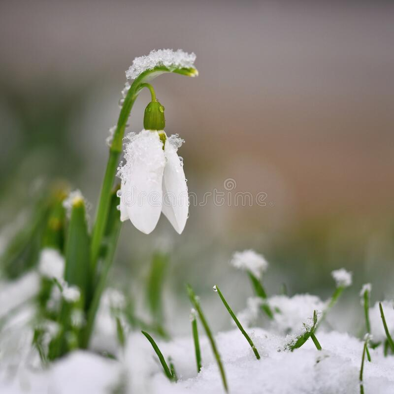 Snowdrops. First beautiful small white spring flowers in winter time. Colorful nature background at the sunset.  Galanthus. stock image