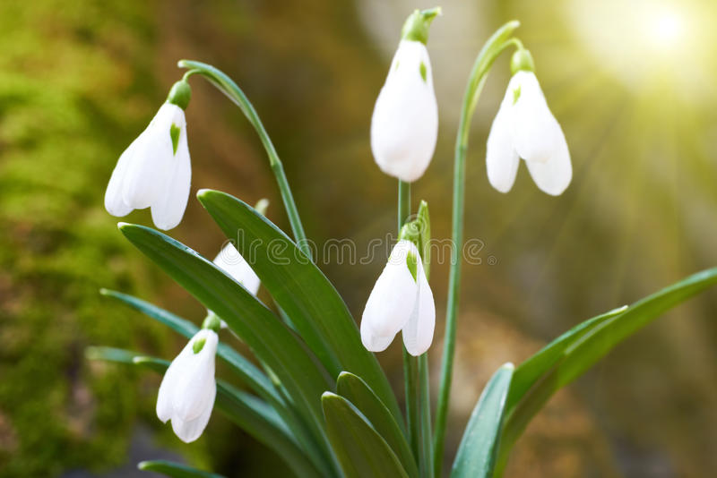 Snowdrops first spring flowers stock photography