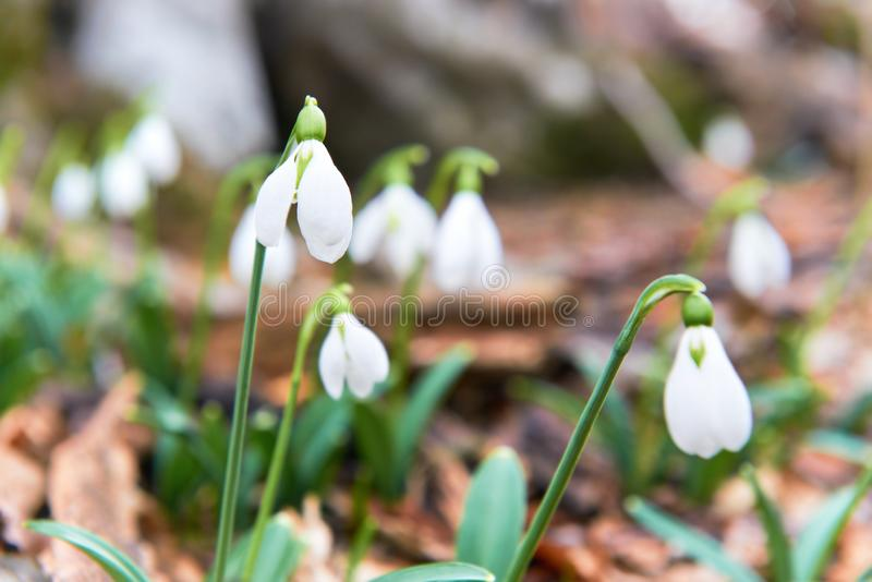 Snowdrops first spring flowers royalty free stock image