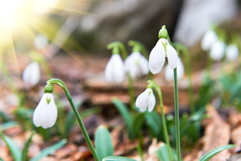 Snowdrops first spring flowers and sun light royalty free stock photos