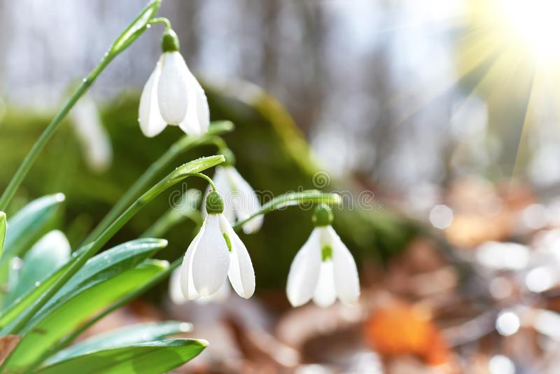 Snowdrops first spring flowers and sun light stock photography