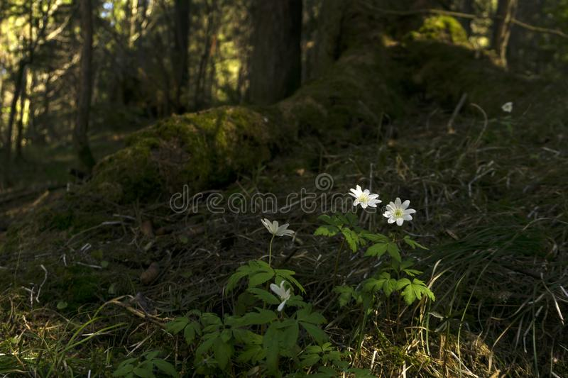 Snowdrops in the forest thicket stock photos