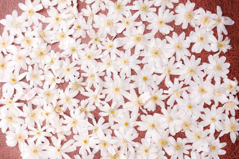 Snowdrops Galanthus在一个国家村庄森林地庭院里在农村德文郡,英国 免版税库存照片