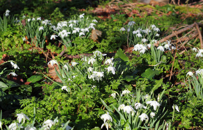 Snowdrops (Galanthus) royalty free stock image
