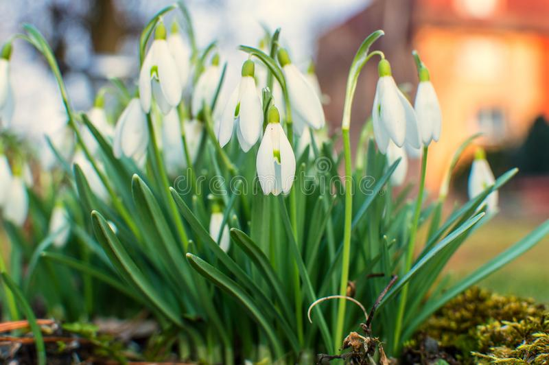 Snowdrops in the garden. royalty free stock photo