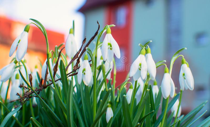 Snowdrops in the garden. stock image