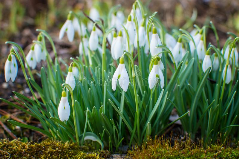 Snowdrops in the garden. royalty free stock image