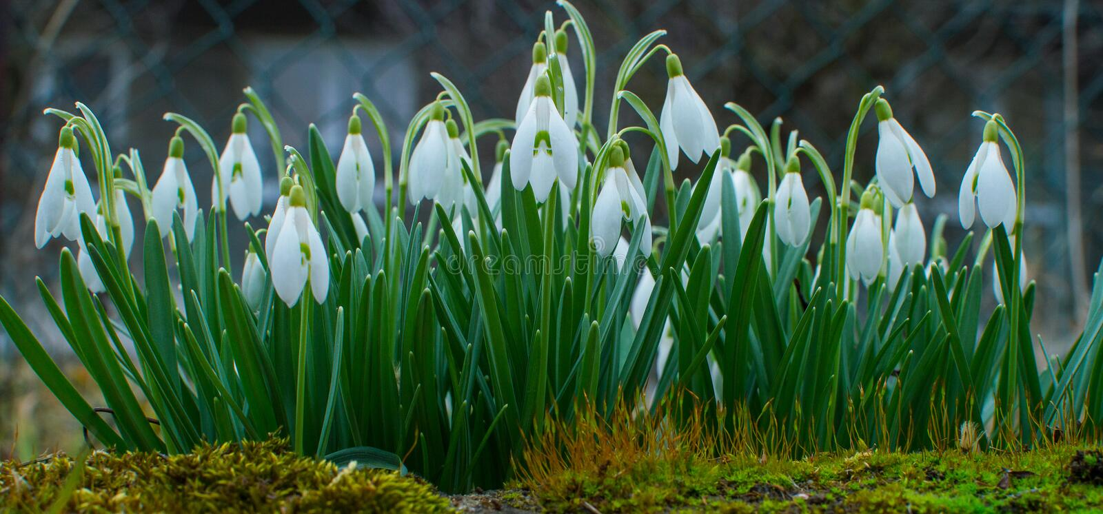 Snowdrops in the garden. stock photography