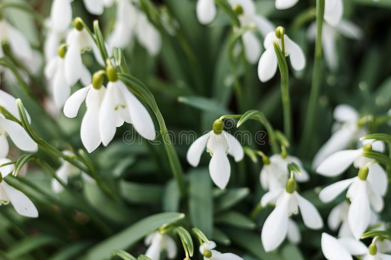 Snowdrops in the garden royalty free stock photos