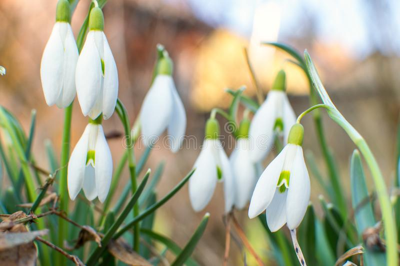 Snowdrops in the garden. stock photos