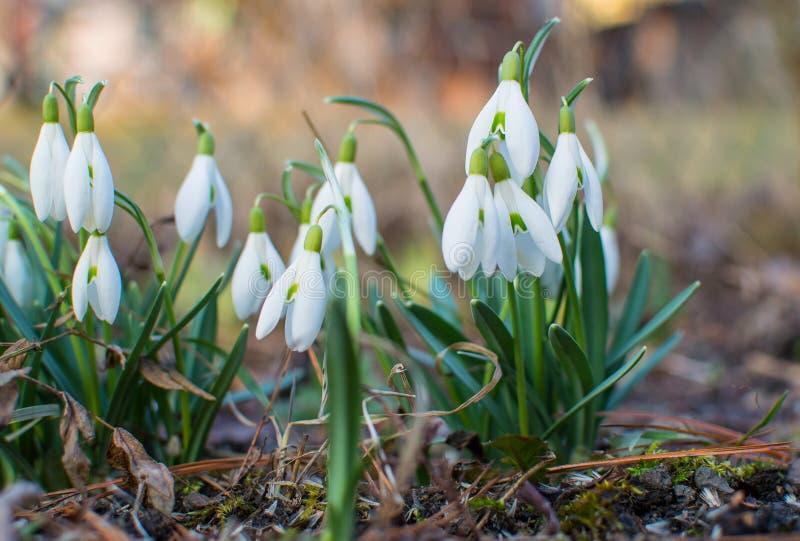 Snowdrops in the garden. stock photos