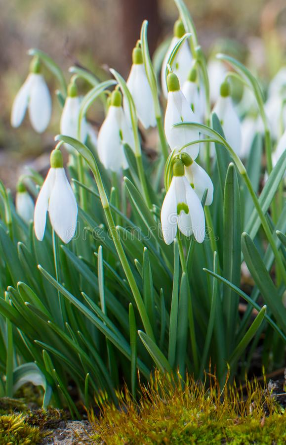 Snowdrops in the garden. royalty free stock photography