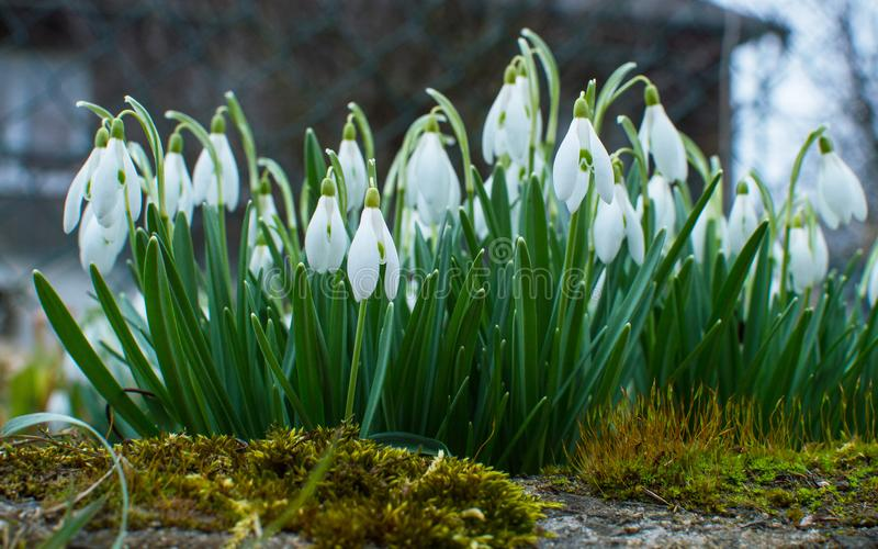 Snowdrops in the garden. royalty free stock images