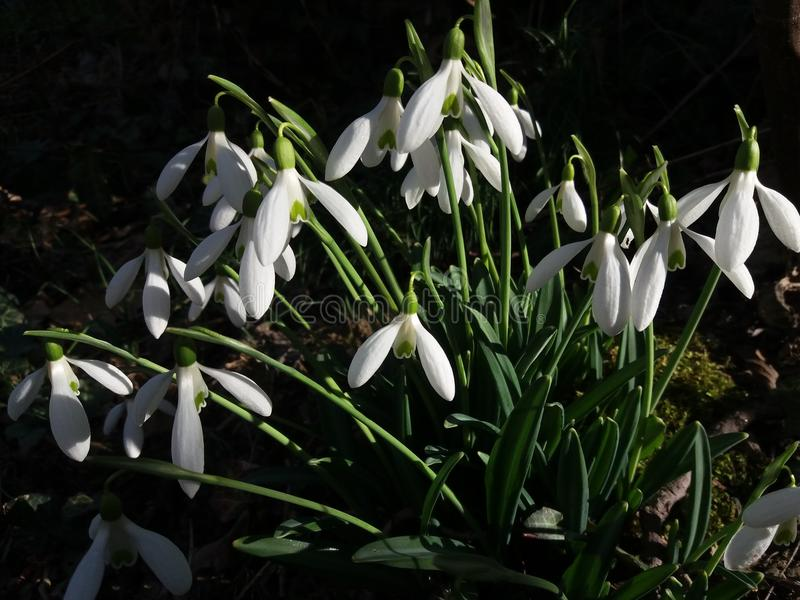 Snowdrops in the garden stock photography