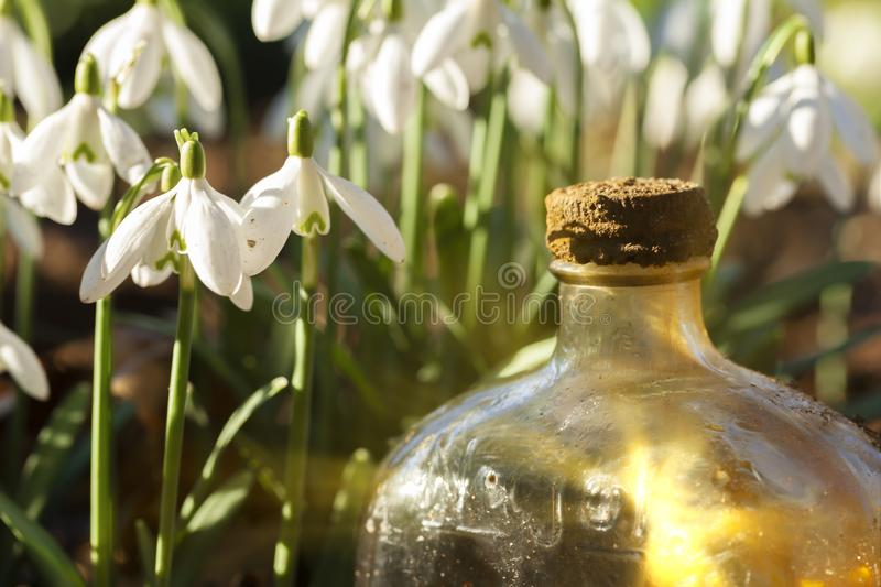 Snowdrops and glass bottle sunrise. Fresh snowdrops in the wild close up at eye level, with an old glass bottle catching early morning sunlight. Landscape view royalty free stock photo