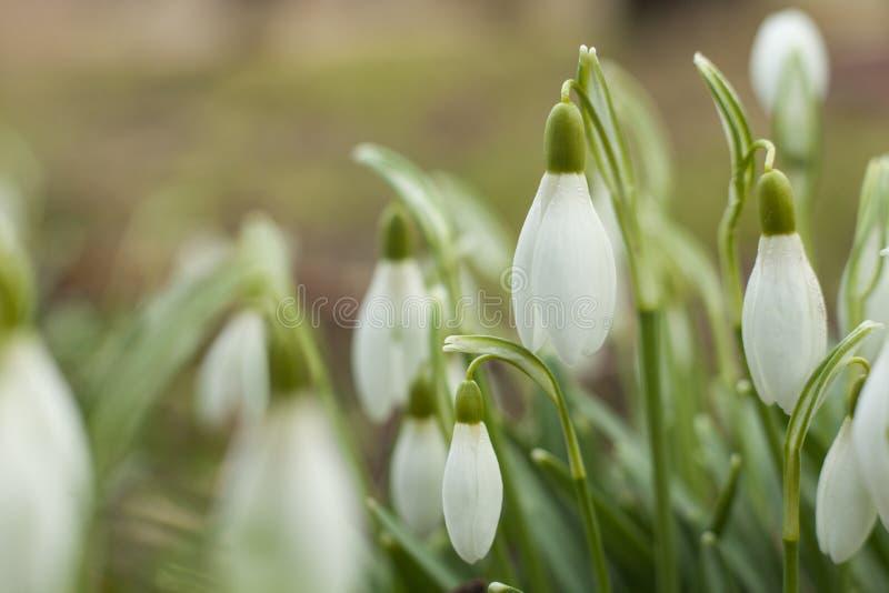 Snowdrops hermosos La primera muestra de la primavera imagenes de archivo