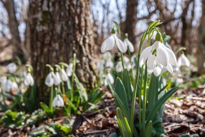 Snowdrops i skogen fotografering för bildbyråer