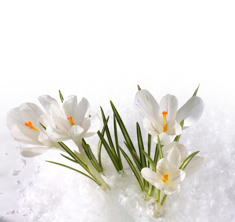 Free Snowdrops In Snow Stock Images - 18630484