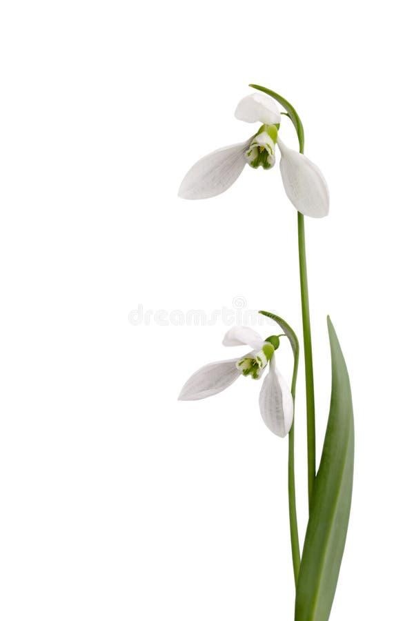 Snowdrops isolou-se em um fundo branco imagem de stock