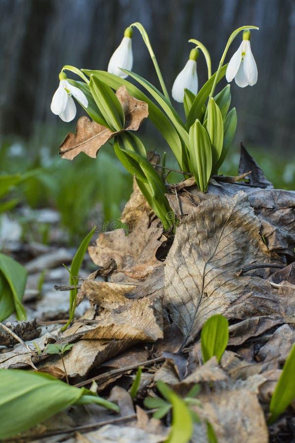 Snowdrops jovenes sobre las hojas viejas en bosque de la primavera imagenes de archivo
