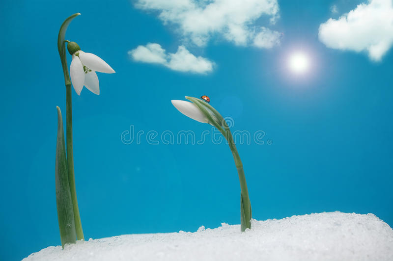 Snowdrops and ladybug royalty free stock image